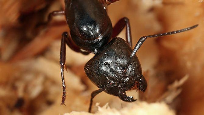 Quando as formigas comer ricos em proteínas: proteína encurtar a vida