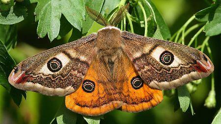 A borboleta do ano: Peacock Moth escolhido