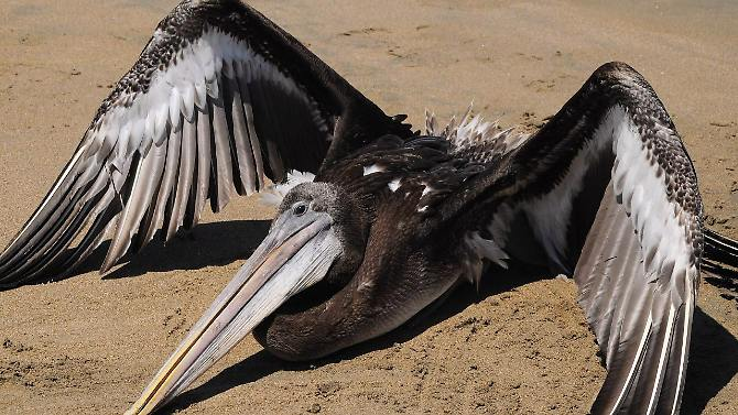 Nos estômagos dos pelicanos são encontrados lixo e areia.