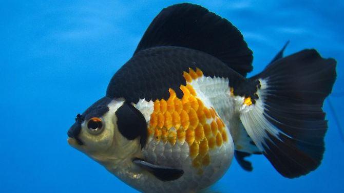 """Um peixe em um aquário: peixes têm magnéticos """"A Bússola de células.""""  Eles permitem que os animais um foco no campo magnético da terra."""