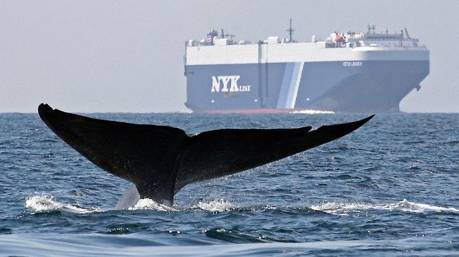 A caça à baleia é proibida desde 1986.  A brecha só: captura e morte para fins de pesquisa.