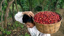 Feijão Forte: O culto do café